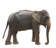 Το πλήρες σώμα πλάγιας όψης του ταϊλανδικού ελέφαντα που στέκεται παρουσιάζει όμορφο σκι στοκ φωτογραφία με δικαίωμα ελεύθερης χρήσης
