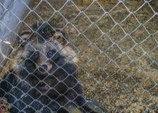 Το ρακούν κάθεται σε ένα κλουβί στο ζωολογικό κήπο στοκ εικόνα