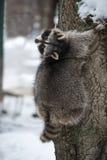 Το ρακούν σε ένα δέντρο στο χειμερινό πάρκο Στοκ φωτογραφίες με δικαίωμα ελεύθερης χρήσης