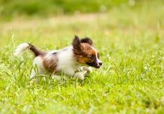 Το δραστήριο κουτάβι του Papillon τρέχει γρήγορα κατά μήκος του πράσινου χορτοτάπητα Στοκ Φωτογραφίες