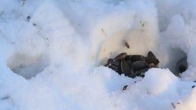 Το ριγωτό agrarius Apodemus ποντικιών τομέων σέρνει τους σπόρους ηλίανθων στην τρύπα απόθεμα βίντεο