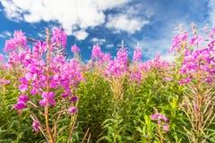 Το ροζ (άνθιση Sally) τα λουλούδια στον τομέα και το βαθύ μπλε ουρανό στοκ φωτογραφία με δικαίωμα ελεύθερης χρήσης