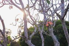 το ροζ ή η έρημος λουλουδιών plumeria αυξήθηκε όμορφος στο δέντρο Στοκ εικόνα με δικαίωμα ελεύθερης χρήσης