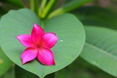 το ροζ ή η έρημος λουλουδιών plumeria αυξήθηκε όμορφος στο δέντρο Στοκ Φωτογραφία
