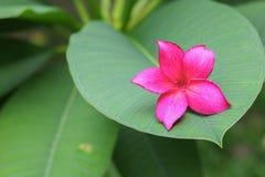 το ροζ ή η έρημος λουλουδιών plumeria αυξήθηκε όμορφος στο δέντρο Στοκ φωτογραφία με δικαίωμα ελεύθερης χρήσης