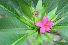 το ροζ ή η έρημος λουλουδιών plumeria αυξήθηκε όμορφος στο δέντρο Στοκ εικόνες με δικαίωμα ελεύθερης χρήσης