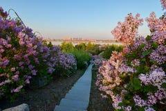 Το ροζ ανθίζει στην ανατολή πλήρους άνθισης και πορειών Στοκ φωτογραφία με δικαίωμα ελεύθερης χρήσης