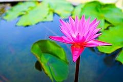 το ροζ ανθίζει lilly την άνθιση την ημέρα πράσινη lilly γεμίζει backgroung Στοκ Εικόνα