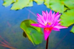 το ροζ ανθίζει lilly την άνθιση την ημέρα πράσινη lilly γεμίζει backgroung Στοκ Εικόνες