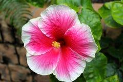 Το ροζ εξασθένισε άσπρα Hibiscus Στοκ εικόνα με δικαίωμα ελεύθερης χρήσης