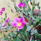 Το ροζ κήπων ΛΟΥΛΟΥΔΙΩΝ ανθίζει τις πράσινες φωτογραφίες Στοκ Εικόνες
