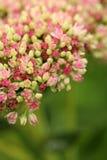 Το ροζ και αυξήθηκε άνθος Sedum σε ένα πράσινο υπόβαθρο Στοκ Φωτογραφίες