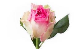 Το ροζ και αυξήθηκε λουλούδι Στοκ φωτογραφία με δικαίωμα ελεύθερης χρήσης