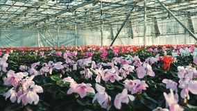 Το ροζ και το κόκκινο αυξάνονται στα δοχεία σε ένα μεγάλο θερμοκήπιο απόθεμα βίντεο