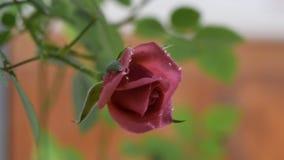 Το ροζ λουλουδιών λίγο αυξήθηκε σε έναν κλάδο με τις πτώσεις του νερού που ταλαντεύεται στον αέρα, φιλμ μικρού μήκους