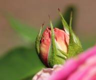 το ροζ λουλουδιών οφθ&a Στοκ Εικόνες