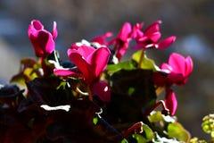 Το ροζ ο θάμνος στο backlight στοκ εικόνες
