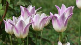 Το ροζ στο λευκό το υβριδικό κομψό γυναικείο την άνοιξη αεράκι λουλουδιών τουλιπών, 4K απόθεμα βίντεο