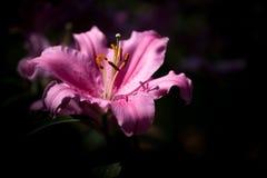 Το ροζ φύσης κινηματογραφήσεων σε πρώτο πλάνο ανθίζει lilly Στοκ φωτογραφία με δικαίωμα ελεύθερης χρήσης