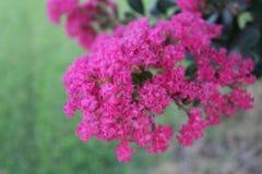 Το ροζ crepe myrtle Στοκ εικόνες με δικαίωμα ελεύθερης χρήσης