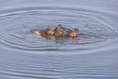 Το ρομαντικό φιλί Hippo μωρών στοκ φωτογραφία με δικαίωμα ελεύθερης χρήσης