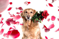 Το ρομαντικό χρυσό retriever σκυλί με αυξήθηκε στο στόμα Στοκ φωτογραφίες με δικαίωμα ελεύθερης χρήσης