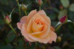Το ροδάκινο αυξήθηκε από τα μπουμπούκια τριαντάφυλλου σε έναν κήπο Στοκ εικόνες με δικαίωμα ελεύθερης χρήσης