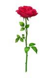 Το ροδαλό λουλούδι, διανυσματική απεικόνιση Στοκ εικόνα με δικαίωμα ελεύθερης χρήσης