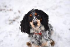 Το ρωσικό σπανιέλ σκυλιών Στοκ Εικόνα