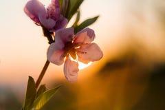 Το ρόδινο δέντρο ανθών κερασιών ανθίζει την άνοιξη στοκ φωτογραφία