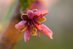 Το ρόδινο δέντρο ανθών κερασιών ανθίζει την άνοιξη στοκ φωτογραφίες με δικαίωμα ελεύθερης χρήσης