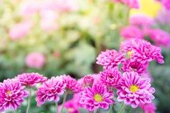 Το ρόδινο ελατήριο λουλουδιών μαργαριτών gerber ανθίζει στο ηλιοβασίλεμα Στοκ εικόνα με δικαίωμα ελεύθερης χρήσης