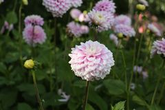 Το ρόδινο και άσπρο άνθος νταλιών, όμορφες ανθίσεις λαμπρύνει τους κήπους στοκ εικόνες