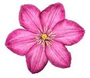 Το ρόδινο κεφάλι λουλουδιών Clematis απομόνωσε το άσπρο υπόβαθρο Στοκ Εικόνα