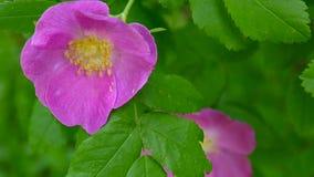 Το ρόδινο λουλούδι άγριο αυξήθηκε κινηματογράφηση σε πρώτο πλάνο Βιντεοσκοπημένες εικόνες από μια στατική κάμερα φιλμ μικρού μήκους