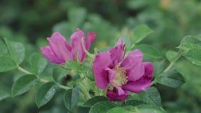 Το ρόδινο λουλούδι αυξήθηκε Αυξήθηκε είναι ένα ξύλινο αιώνιο ανθίζοντας φυτό του γένους Rosa, στα οικογενειακά rosaceae, ή το λου φιλμ μικρού μήκους