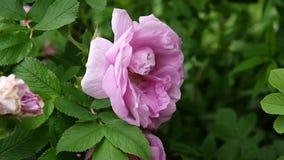 Το ρόδινο λουλούδι αυξήθηκε κινηματογράφηση σε πρώτο πλάνο Βιντεοσκοπημένες εικόνες από μια στατική κάμερα απόθεμα βίντεο