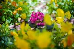 Το ρόδινο λουλούδι στη μέση του κίτρινου λουλουδιού Στοκ Εικόνα