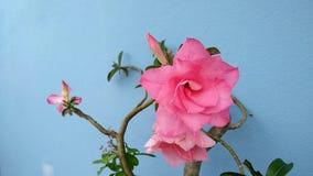 Το ρόδινο λουλούδι Adenium, έρημος αυξήθηκε, πλαστή αζαλέα, Pinkbignonia, κρίνος Impala απόθεμα βίντεο