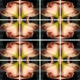 Το ρόδινο λουλούδι Amaryllis τακτοποίησε καλλιτεχνικά στις τετραγωνικές μορφές απεικόνιση αποθεμάτων