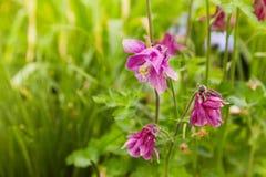 Το ρόδινο λουλούδι Aquilegia στο φυσικό υπόβαθρο, κλείνει επάνω τη μακροεντολή, λουλούδια εγχώριων κήπων στοκ εικόνα