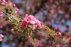 Το ρόδινο μήλο ανθίζει την άνοιξη Στοκ εικόνες με δικαίωμα ελεύθερης χρήσης
