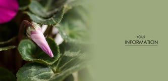 Το ρόδινο πράσινο φύλλο δροσιάς οφθαλμών λουλουδιών η φυσική floral μακροεντολή Στοκ Φωτογραφίες