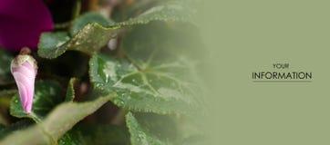 Το ρόδινο πράσινο φύλλο δροσιάς οφθαλμών λουλουδιών η φυσική floral μακροεντολή Στοκ Εικόνες