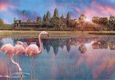 Το ρόδινο φλαμίγκο τρία στο ηλιοβασίλεμα στη λίμνη πριν από Angkor Wat σε Siem συγκεντρώνει, Καμπότζη Στοκ εικόνα με δικαίωμα ελεύθερης χρήσης