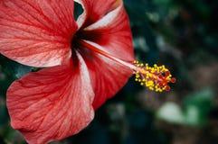 Το ρόδινο hibiscus λουλούδι, κινεζικά hibiscus ή η Κίνα αυξήθηκαν ή κάτοικος της Χαβάης Στοκ Εικόνες