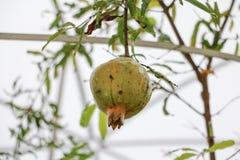 Το ρόδι στο δέντρο με το διάστημα αντιγράφων προσθέτει το κείμενο Στοκ εικόνες με δικαίωμα ελεύθερης χρήσης