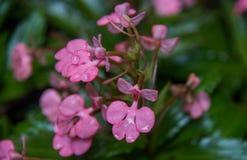 Το ρόδινος-χειλικό Habenaria (ρόδινο αιφνιδιαστικό λουλούδι δράκων) που βρίσκεται στο tro Στοκ Φωτογραφία