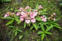 Το ρόδινος-χειλικό Habenaria (ρόδινο αιφνιδιαστικό λουλούδι δράκων) που βρίσκεται στο tro Στοκ Εικόνες
