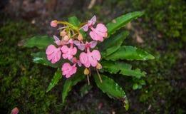 Το ρόδινος-χειλικό Habenaria (ρόδινο αιφνιδιαστικό λουλούδι δράκων) που βρίσκεται στο tro Στοκ Εικόνα